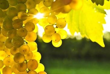 Ще се проведе Открит ден на десертното и винено грозде в Плевен