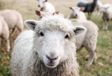 Хванаха водач без книжка, превозващ нерегистрирана овца в Добрич