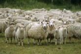 Почти 30 мил. лв. получиха овцевъди и козевъди през 2018 г.