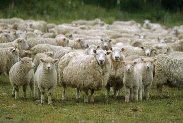 Уелски фермери проследяват животните си чрез GPS система
