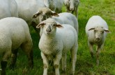 Ку-треска откриха при овце във Видинско