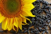 Почти два пъти повече слънчоглед сме внесли досега