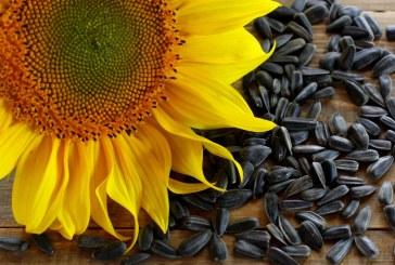 Засушаването понижи добивите от слънчоглед в Шуменско