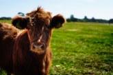 Вижте ставките за обвързана подкрепа на крави, овце, кози и биволи
