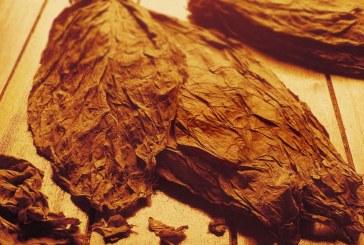 До 29 февруари тютюнопроизводителите ще получат малко над 76 млн.лв. преходна национална помощ за кампания 2019 г.