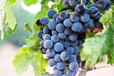 Добивът на грозде в Русенско е около два пъти по-нисък от миналогодишния