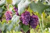 Търговската война между САЩ и Китай се отрази и върху перуанския износ на грозде