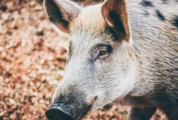 Откриха дива свиня заразена с АЧС