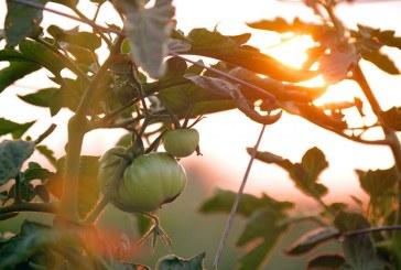 Как да защитим доматите от плевели