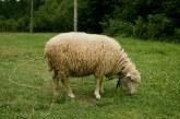 Подготовка за заплождане, бременност и раждане при овцете – част 1