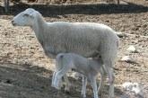 Отглеждане на овце и агнета през бозайния период – част 2