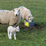 Публикуваха списъци с животновъдите и кланиците, които могат да участват в помощта de minimis за реализация на българско агнешко месо