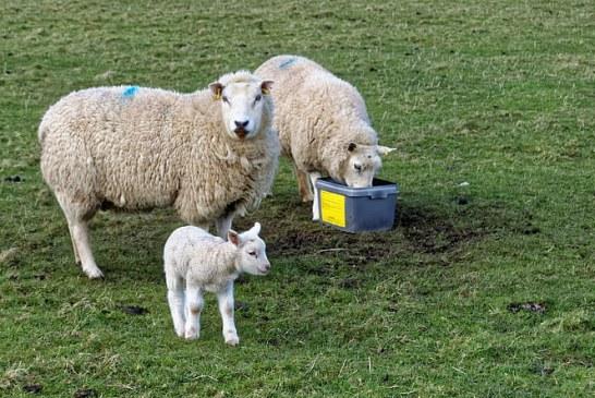 Отглеждане на овце и агнета през бозайния период – част 1