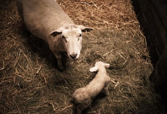 Подготовка за заплождане, бременност и раждане при овцете – част 2