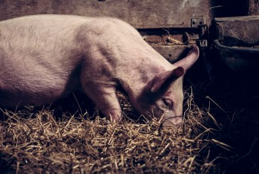 В Сърбия колят прасета заради съмнения за АЧС
