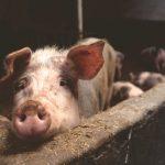 """Три нерегистрирани прасета, отглеждани в стопанства тип """"заден двор"""", са открити във Варненско"""