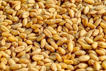 Много добро е качеството на зърното в Сливенско тази година