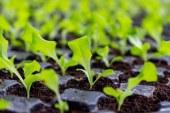 Как да отгледаме разсад за пролетна салата и маруля