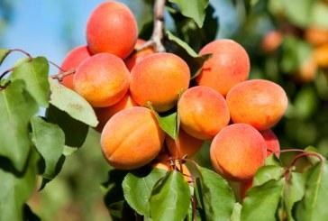 Слаба ще е реколтата от кайсии в Силистренско