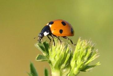 Стремглаво расте броя на застрашените видове насекоми
