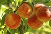 Над 7 % повече пресни плодове са преработили предприятията у нас