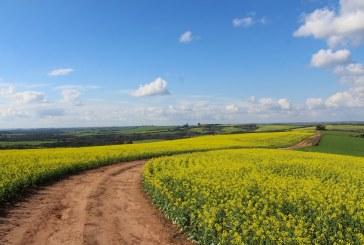Обследвайте посевите за рапичен цветояд и третирайте