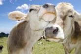 Създадоха мобилно приложение за запознанства на … крави