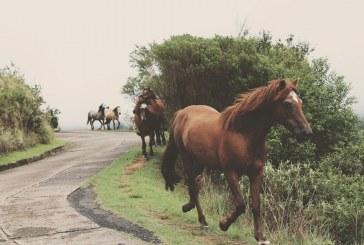 13 коня може да бъдат пуснати на търг в Община Пещера