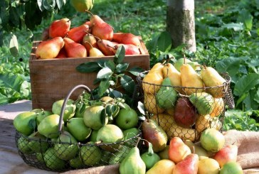 Круша – сортове, отглеждане, резитба и защита от плевели