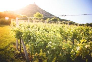 Липсата на калий уврежда качеството на реколтата от грозде