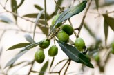 Отглеждане на маслини във вертикални ферми