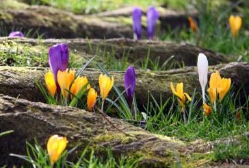 Търговците на защитени видове пролетни цветя ще бъдат глобявани