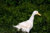Заразените птици в село Листец бяха унищожени