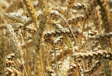 Какви са прогнозите за добивите от мека пшеница