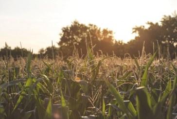 Изцяло е прибрана реколтата от царевица в Русенско