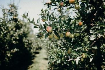 Кои са предпочитаните сортове ябълки и круши у нас
