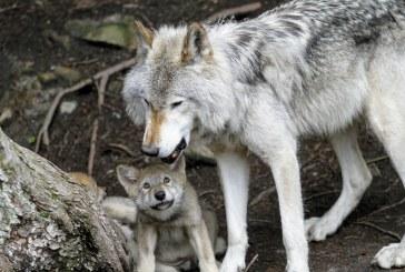 Расте броят на хищниците в област Пазарджик