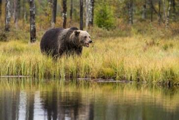 19 са умъртвените животни след нападенията на мечки за месец в Смолянско