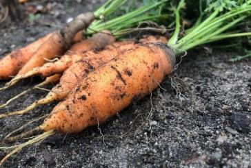 Важно е какъв терен избираме за отглеждането на моркови