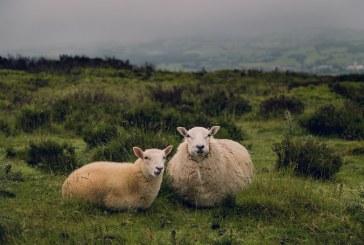 Как се избира овца за разплод
