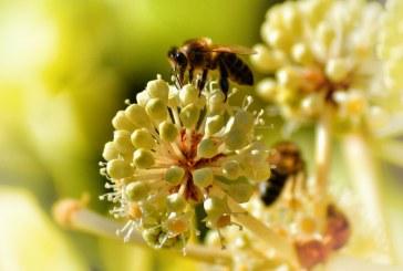 Внимание, пчелари: Пръскат отново пшеницата в Плевенско