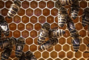 Опазването на пчелите стана обща грижа на земеделците и пчеларите в Разградско