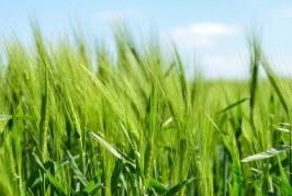 Предстои третиране на площите с пшеница в над 10 землища