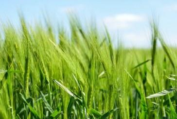 Обследват площите с пшеница в Добричка област до 22 май