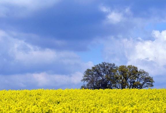 До дни ще започне третирането на посевите с рапица в Бургаско