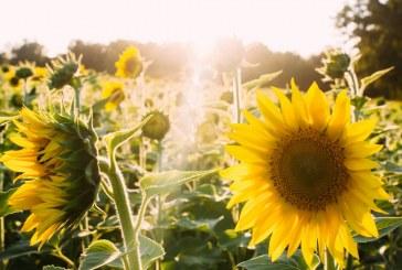 Над 60 % от продукцията от слънчоглед е прибрана в Шуменско