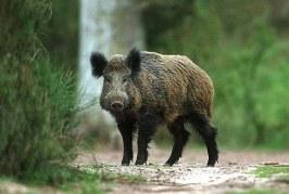 Откриха диво прасе с АЧС в района на Перущица