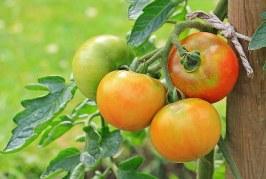 Намаляват площите с домати, пипер и картофи