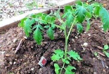 Листа от домати и картофи правят чудеса в градината