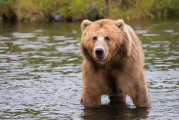 Засилени са мерките за защита от кафяви мечки